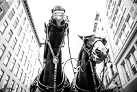 Budweiser Clydesdales in New York City